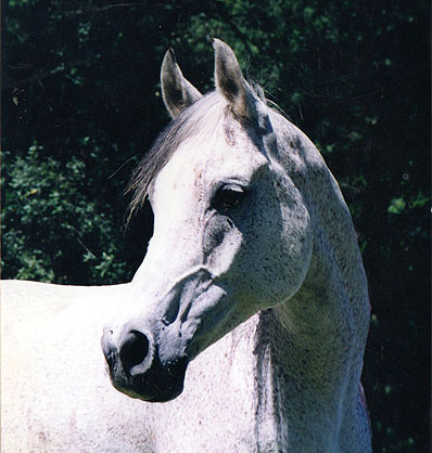Image of a white horse.